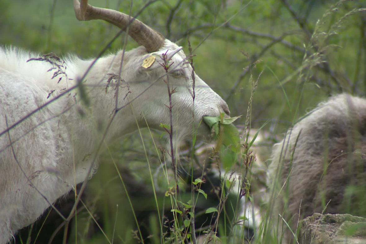 Načeratický kopec spásají kozy a ovce
