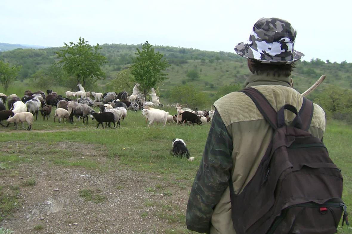 Porost na Načeratickém kopci spásají kozy a ovce