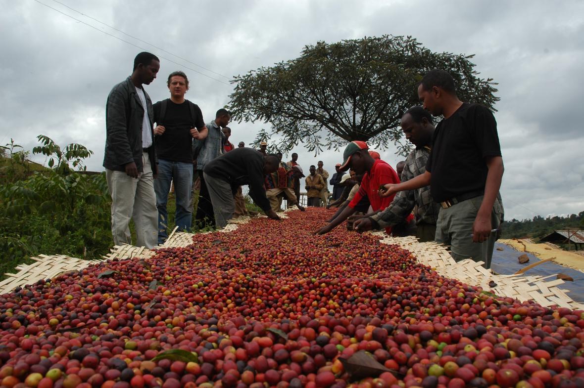 Sběr kávových bobů v Etiopii