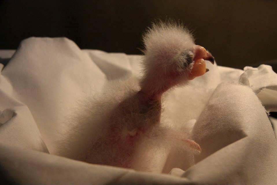 Vylíhnuté mládě papouška Nestor kea