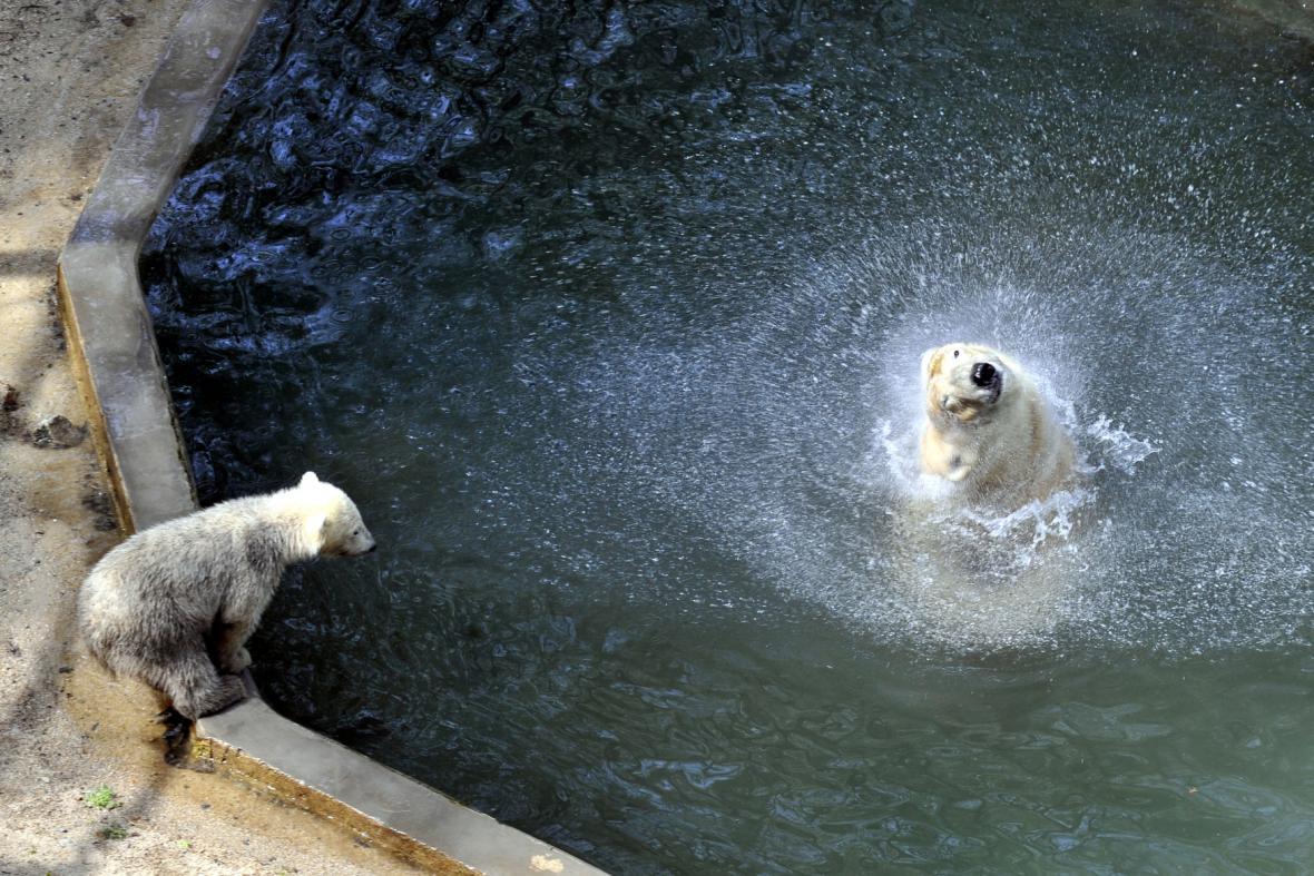 Medvědi tráví horké dny převážně ve vodě
