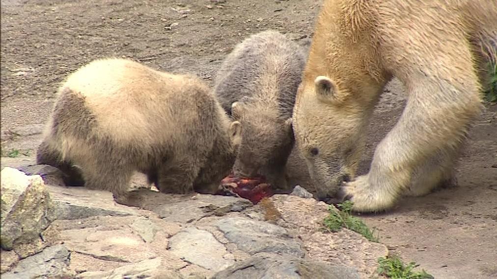Pětiměsíční medvíďata už byla pro kmotry příliš nebezpečná