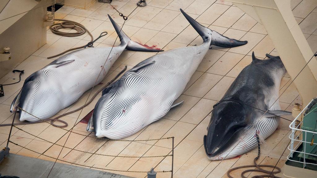 Ulovené velryby - foto zachycené sdružením Sea Shepherd