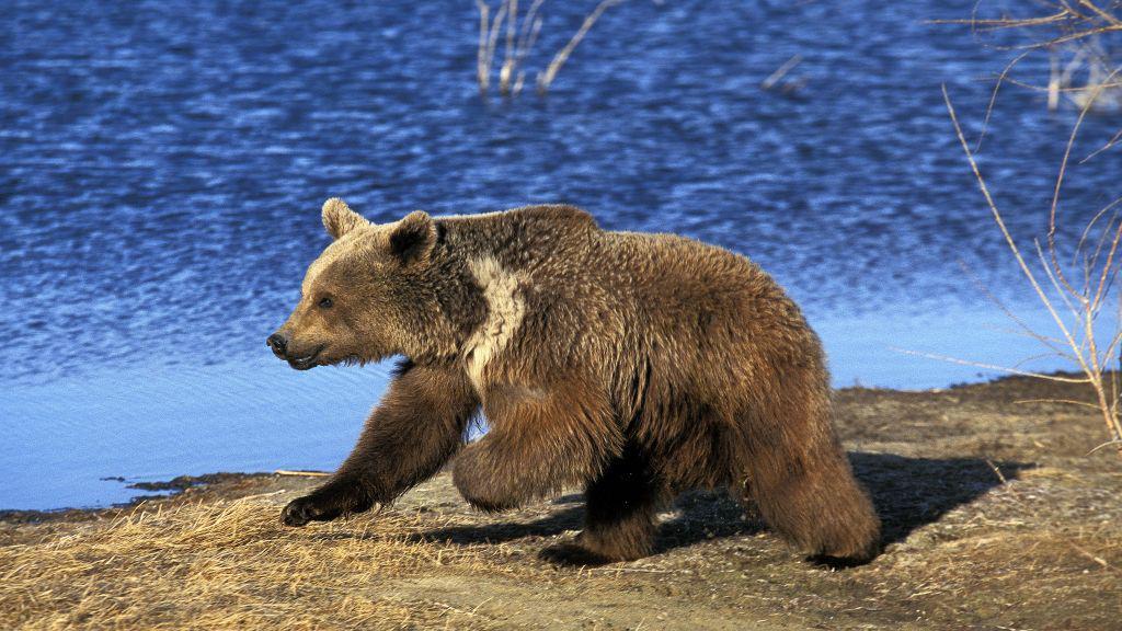 Medvěd na Aljašce