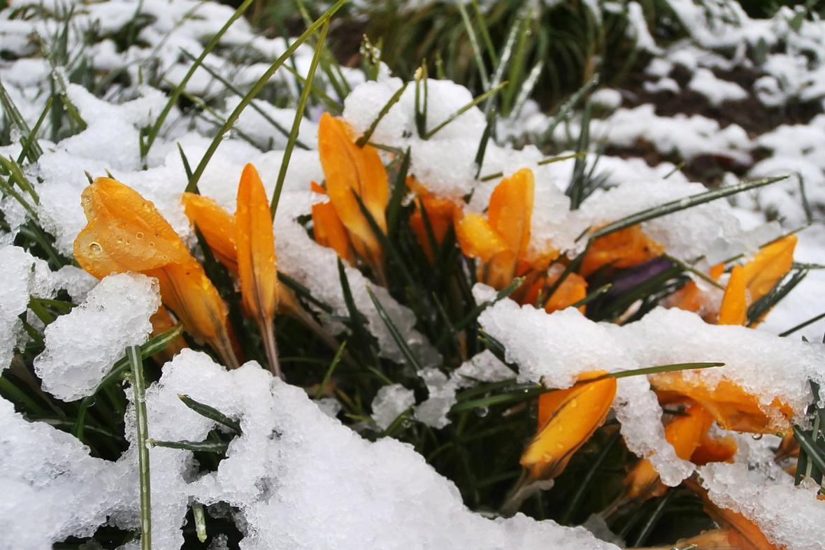 Jarní kytičky překvapil březnový sníh
