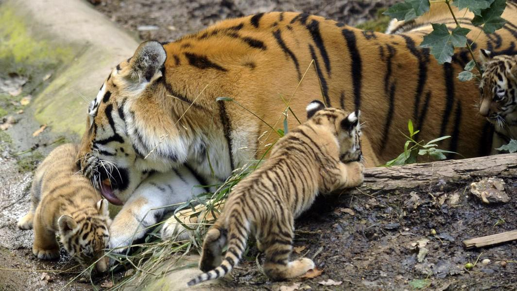 Tygr ussurijský s mláďaty