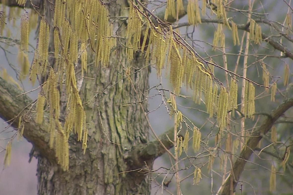Sezóna pylových alergií začala o měsíc dřív