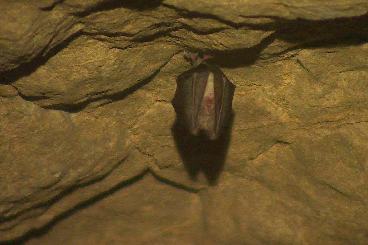 Zazimovaný netopýr