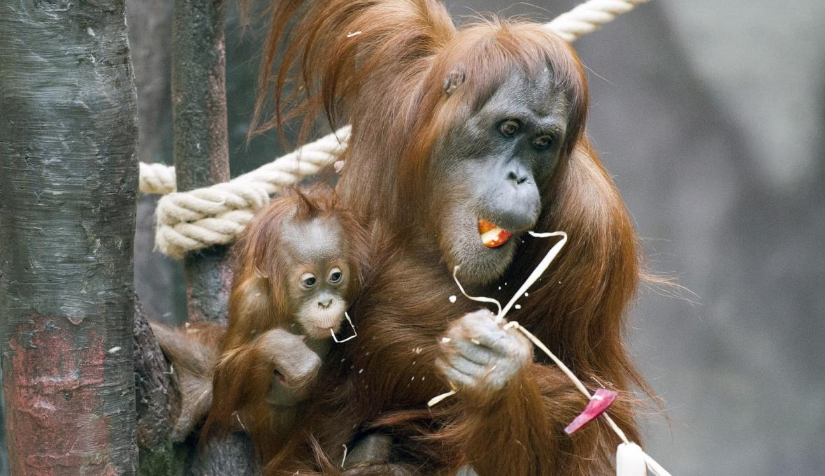 Samička orangutana Diri v pražské zoo