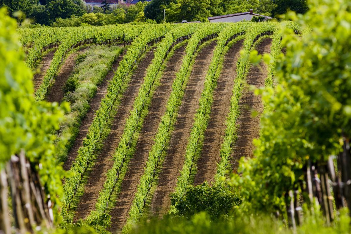 Moravský vinohrad