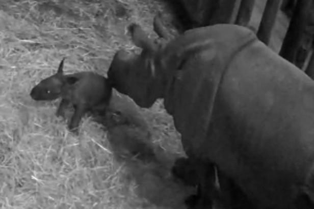Plzeňská zoo slaví přírůstek nosorožce