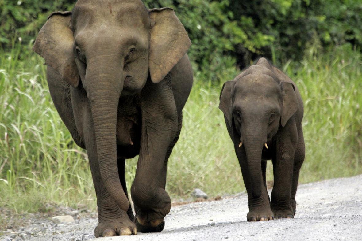 Bornejský trpasličí slon