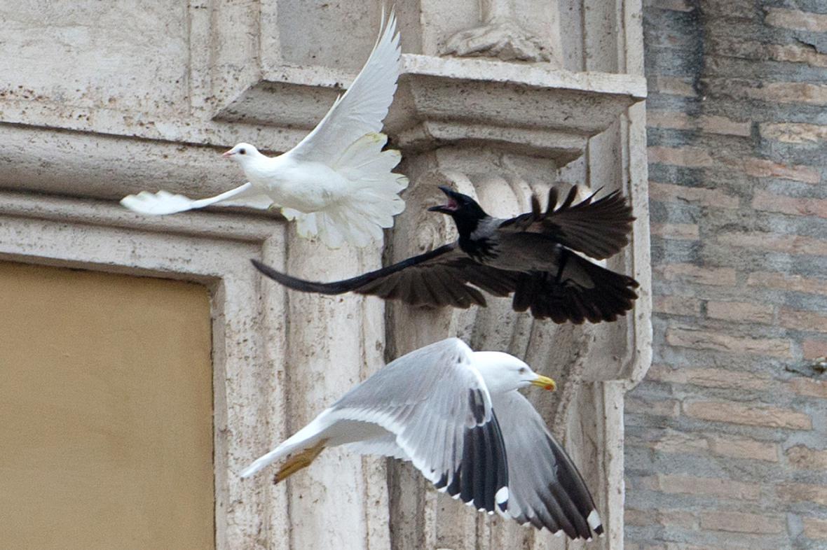 Vypuštěné holubice napadli racek a vrána