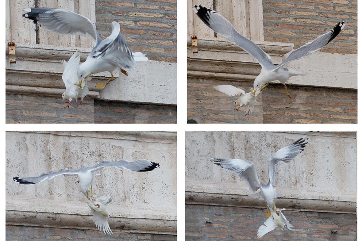 Vypuštěnou holubici napadl racek