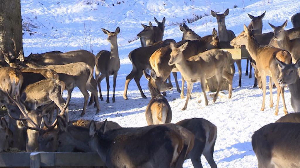 Pozorování jelenů ze srubu