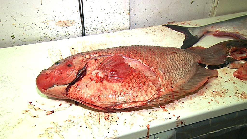 Pitva uhynulých ryb z Mořského světa