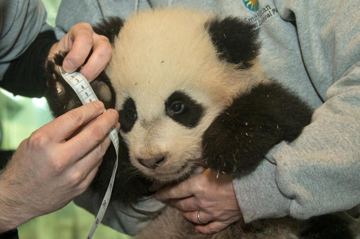 Panda Bao Bao (7. 1. 2014)