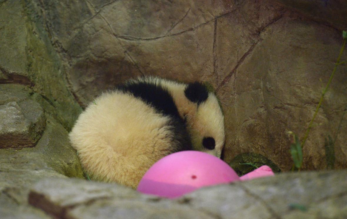 Panda Bao Bao (18. 1. 2014)