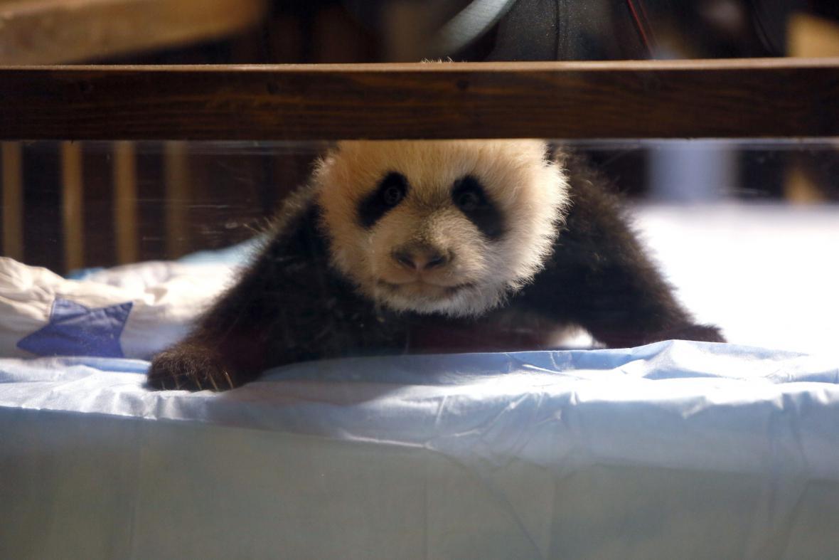 Panda Bao Bao (5. 12. 2013)