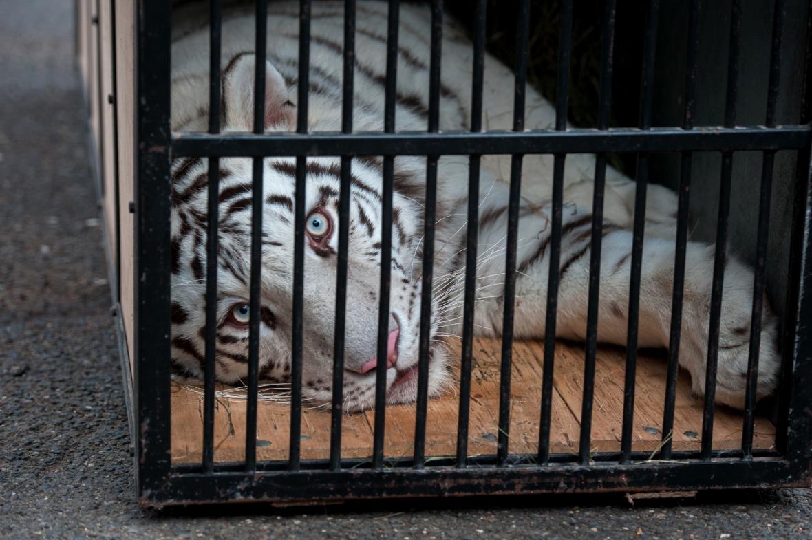 Libereckou zoo opustila mláďata bílých tygrů - Gaia a Sambur (na snímku)