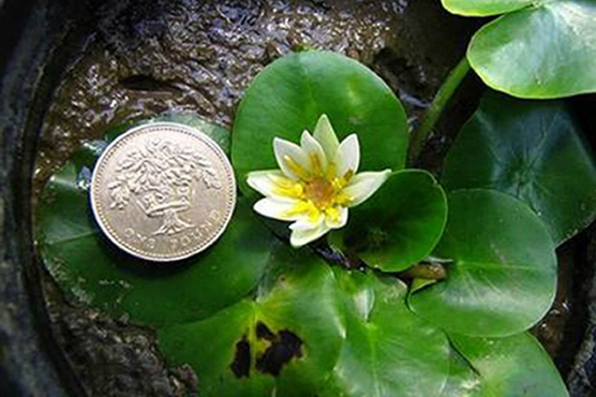 Nymphaea thermarum, nejmenší leknín světa