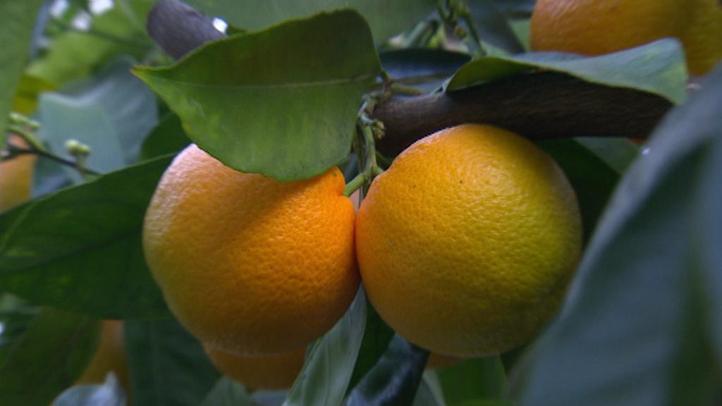 Mandarinky v subtropické zahradě pana Boukala
