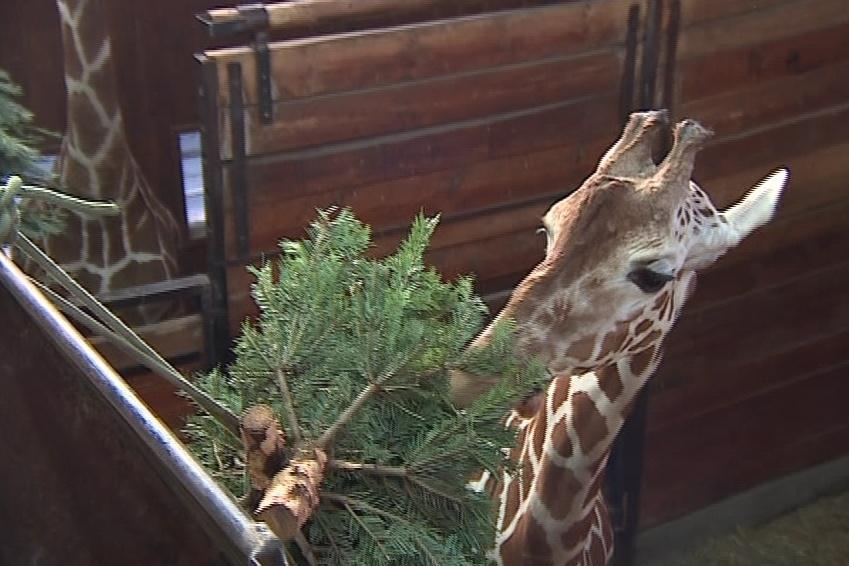 Vánoční stromečky nakrmily i brněnské žirafy