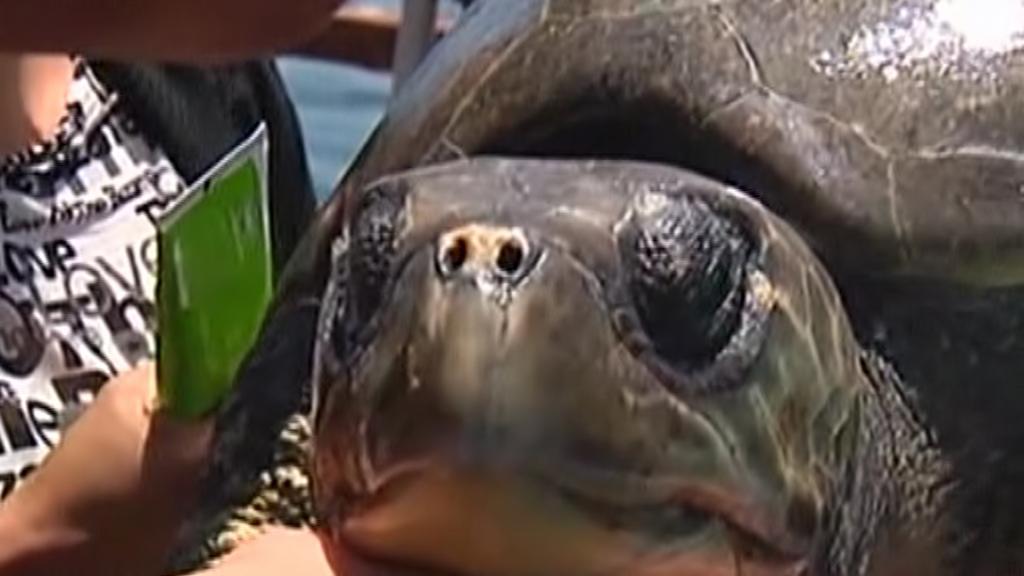 Chilští rybáři zachránili mořskou želvu