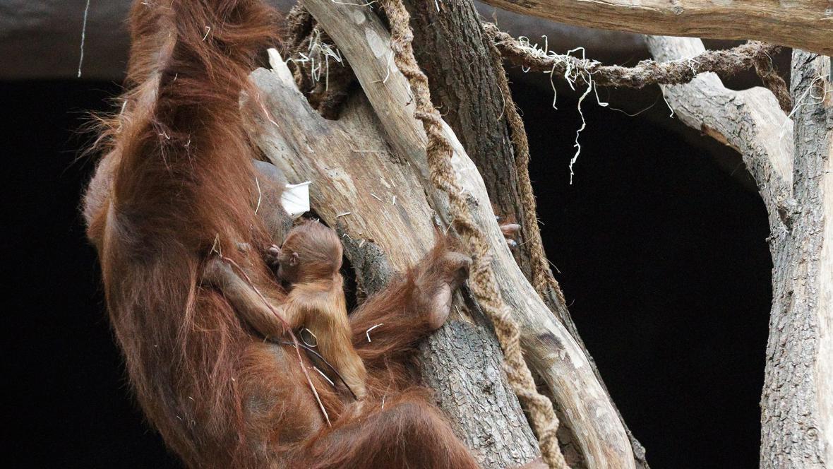 Mládě orangutana narozené v pražské zoo