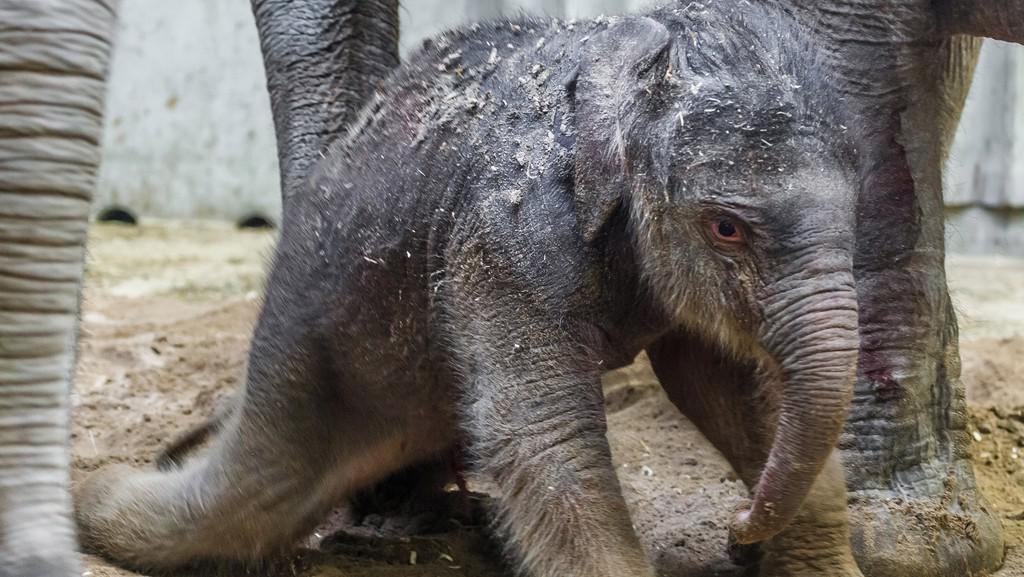 Mládě slonice Donny