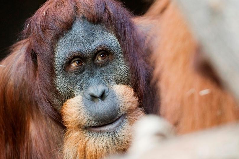 Orangutan Padang