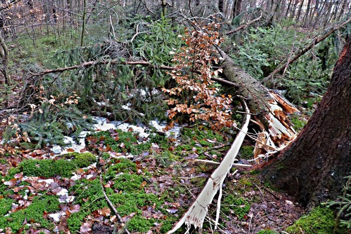 Bukovina - polámané stromy po větru