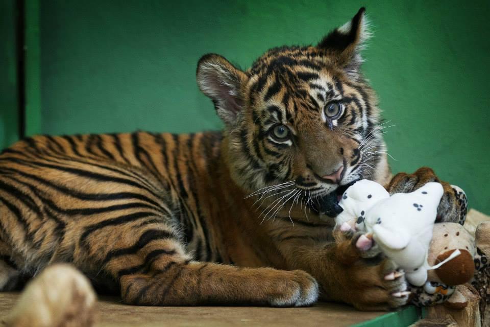 Pětiměsíční kotě tygra sumaterského