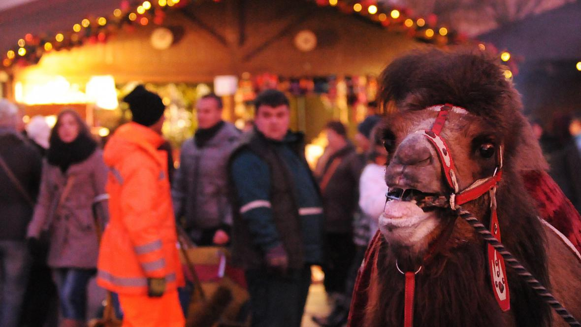 Velbloud - i to je advent v Ostravě