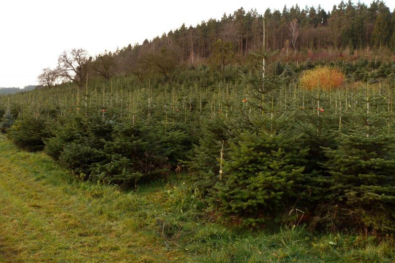 Plantáže vánočních stromků