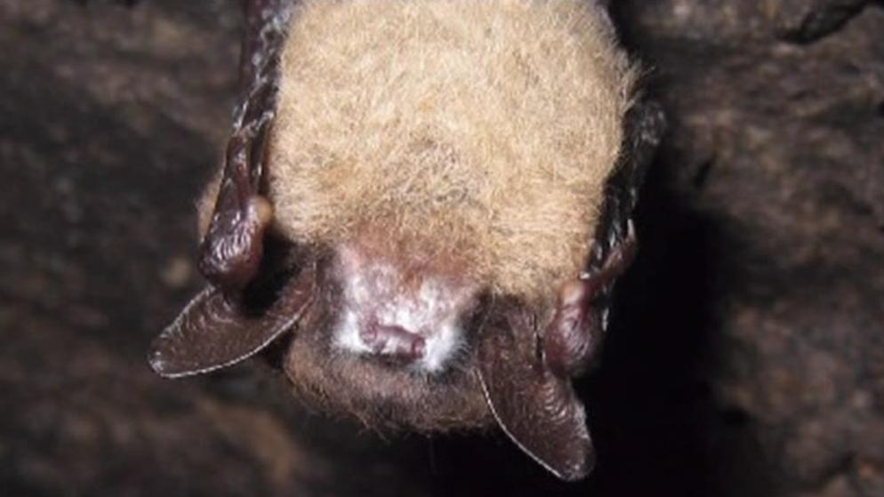 Syndrom bílého nosu