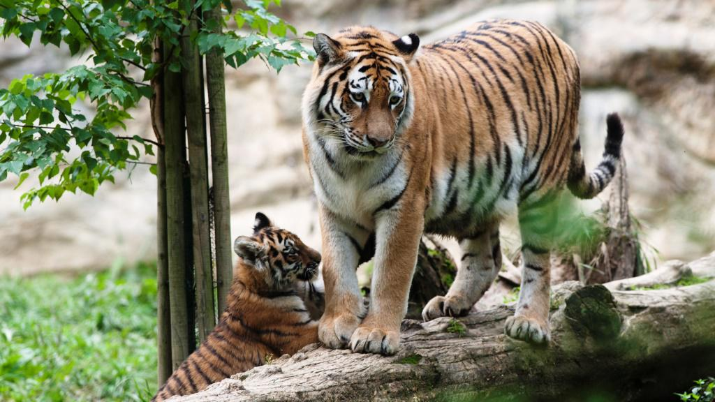 Mládě tygra ussurijského s matkou
