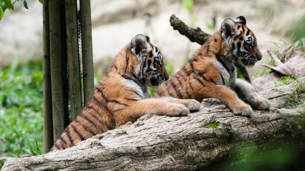 Mláďata tygra ussurijského