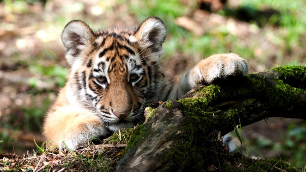 Mládě tygra ussurijského ze zlínské zoo