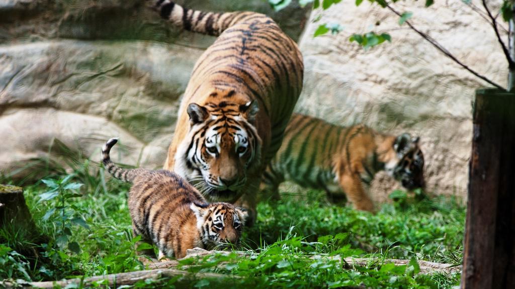 Mláďata tygra ussurijského s matkou