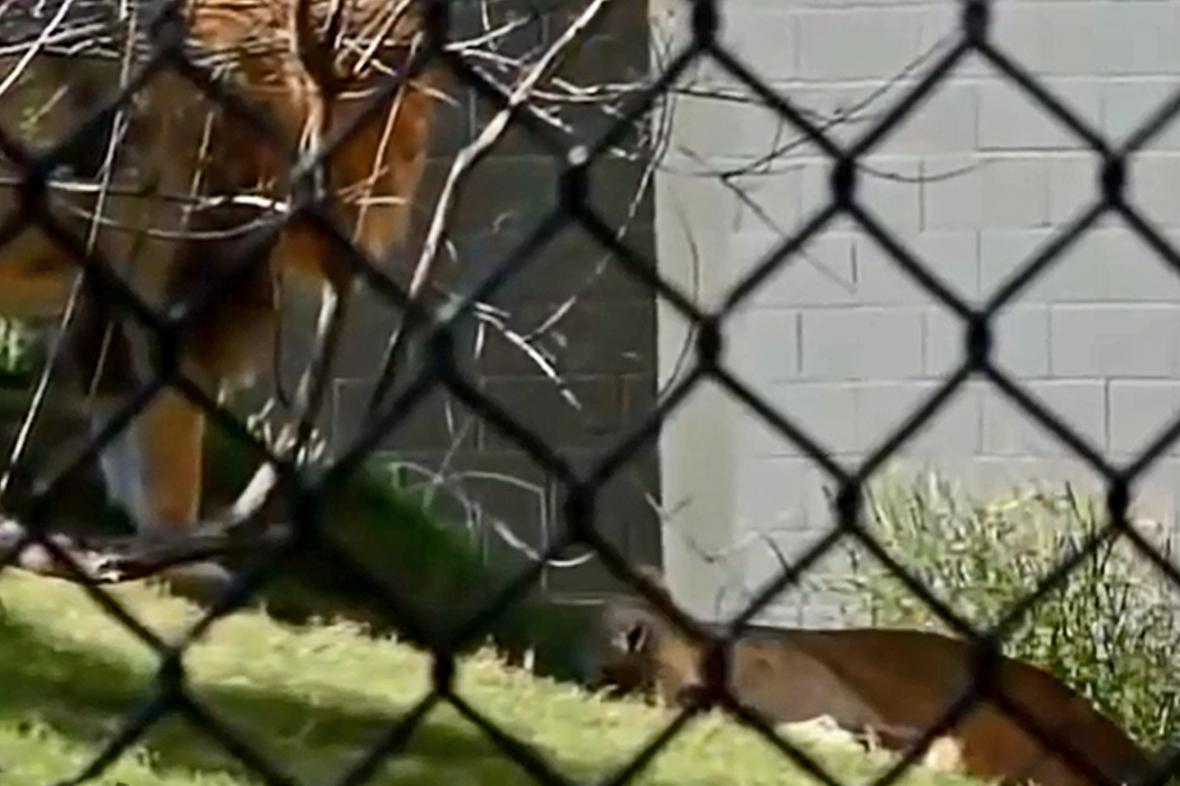 Lev zabil v dallaské zoo lvici