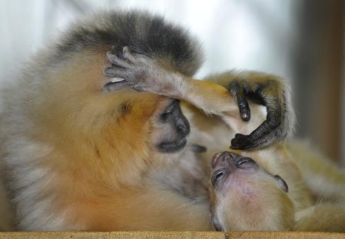 Gibon zlatolící s mládětem