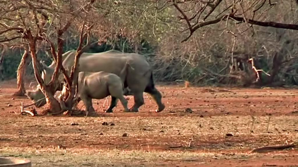 Nosorožci v rezervaci Madikwe