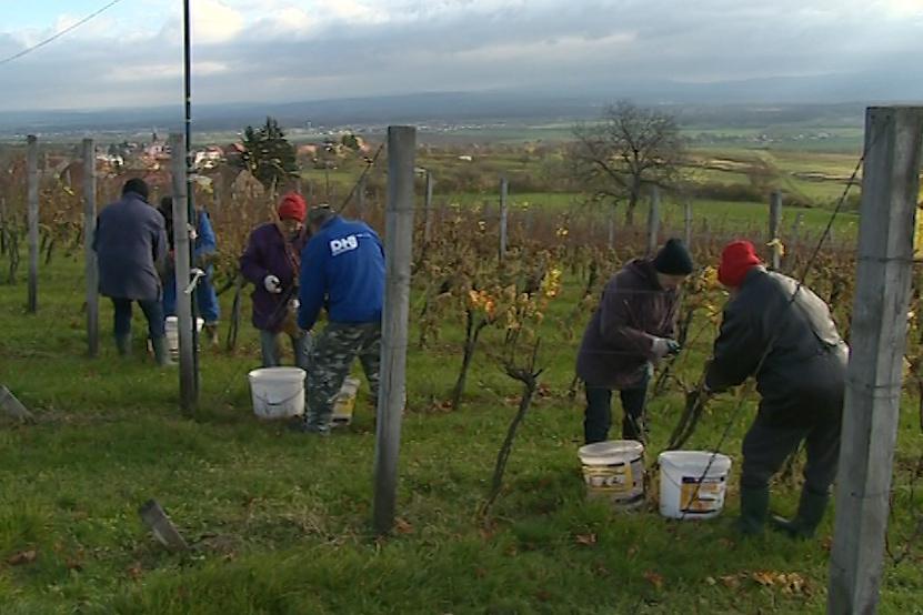 Práce ve vinohradu
