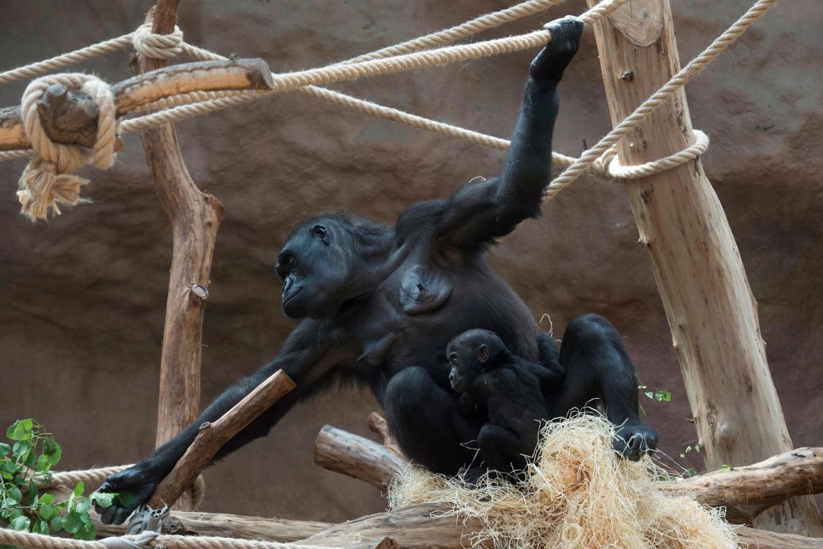 Gorilí samice Kamba s mládětem