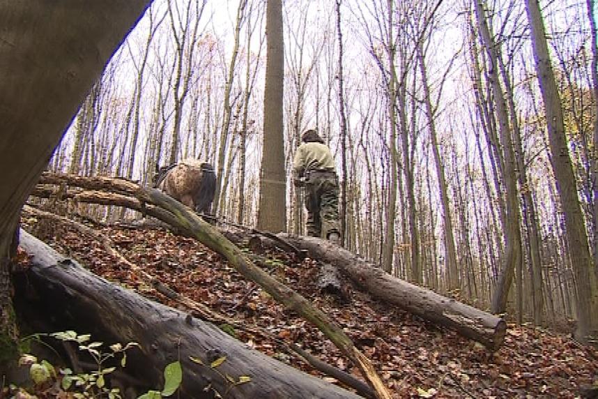 Tahání klád z lesa