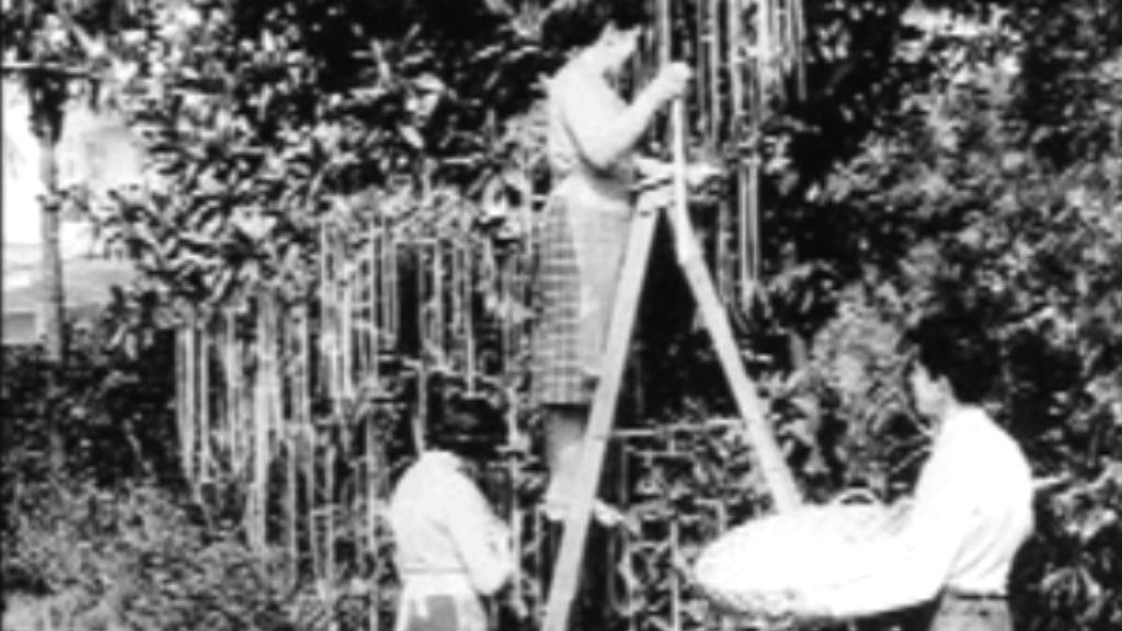 BBC informovala, že špagety rostou na stromech