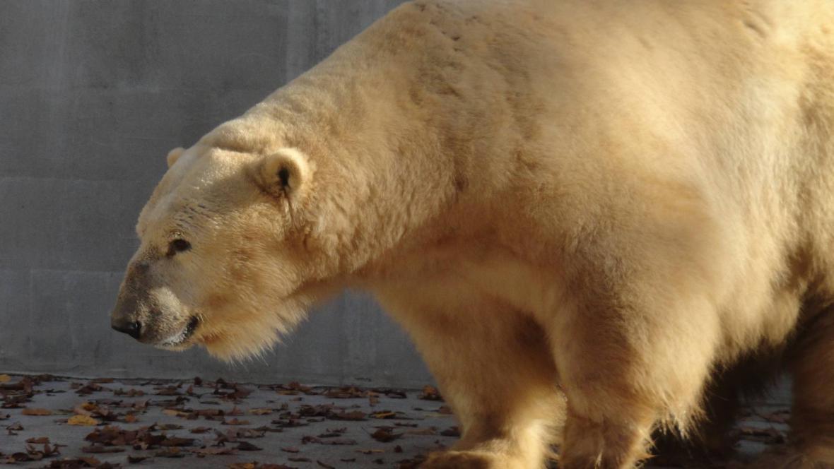 Lední medvěd Umca