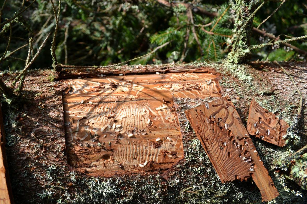 Pokácený strom napadený kůrovcem