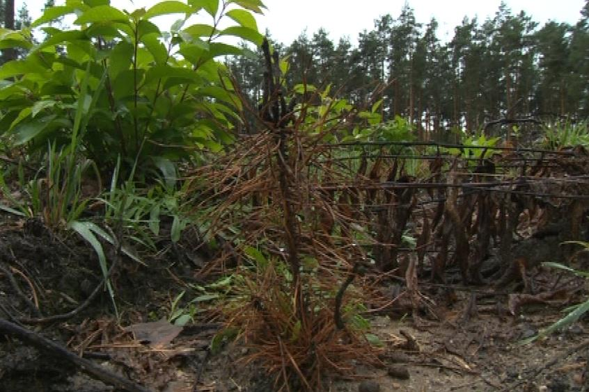 Stromky po napadení larvami chrousta usychají